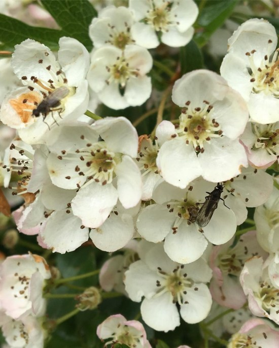 Hawthorn blossoms and insects Whitworth Park